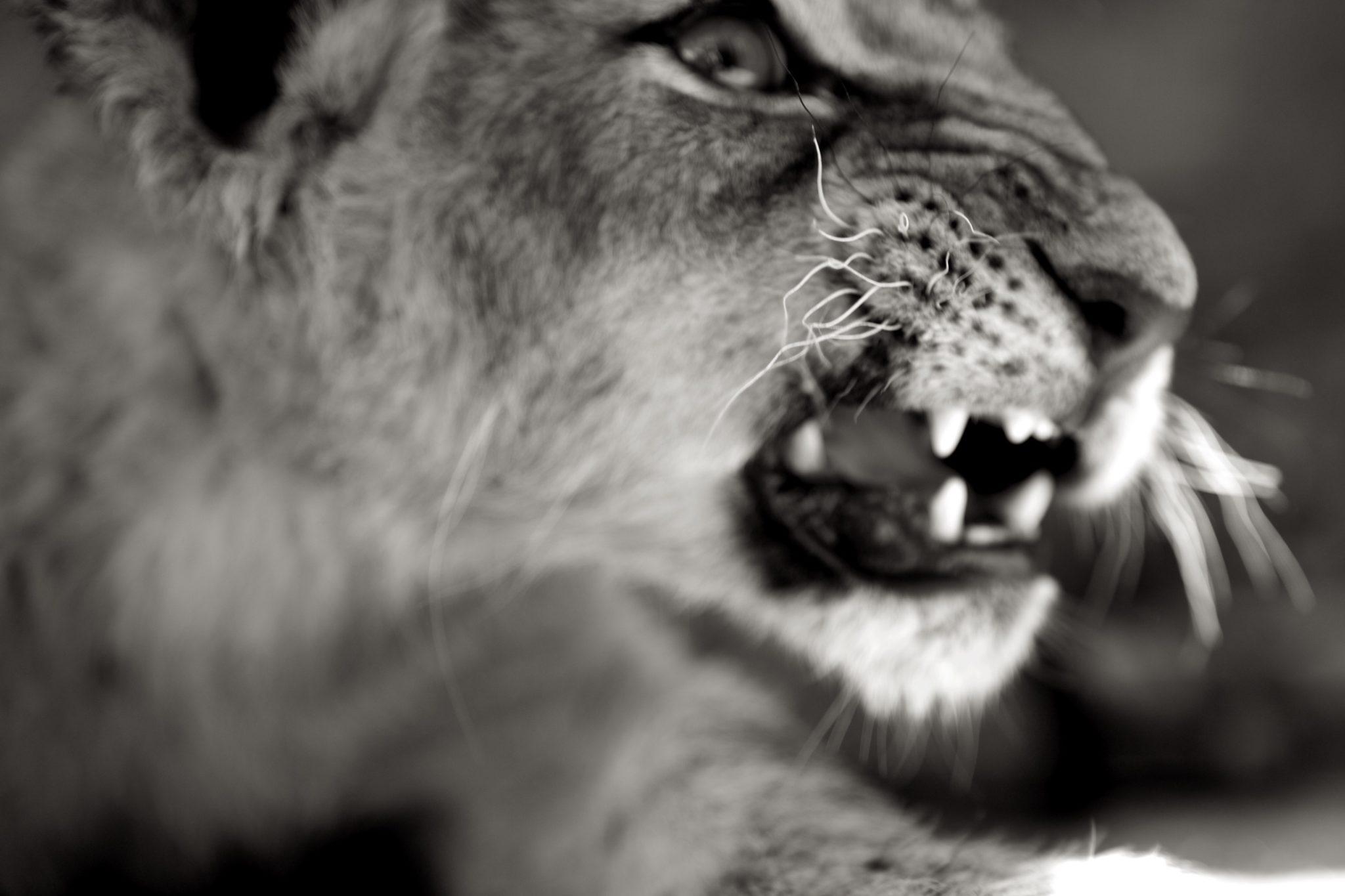 Lion Cub 50mm